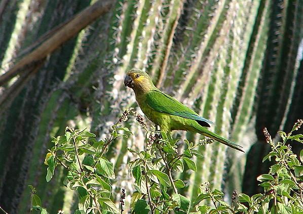 800px-Aratinga pertinax -national park -Aruba-8