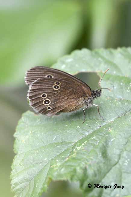 Tristan , le papillon