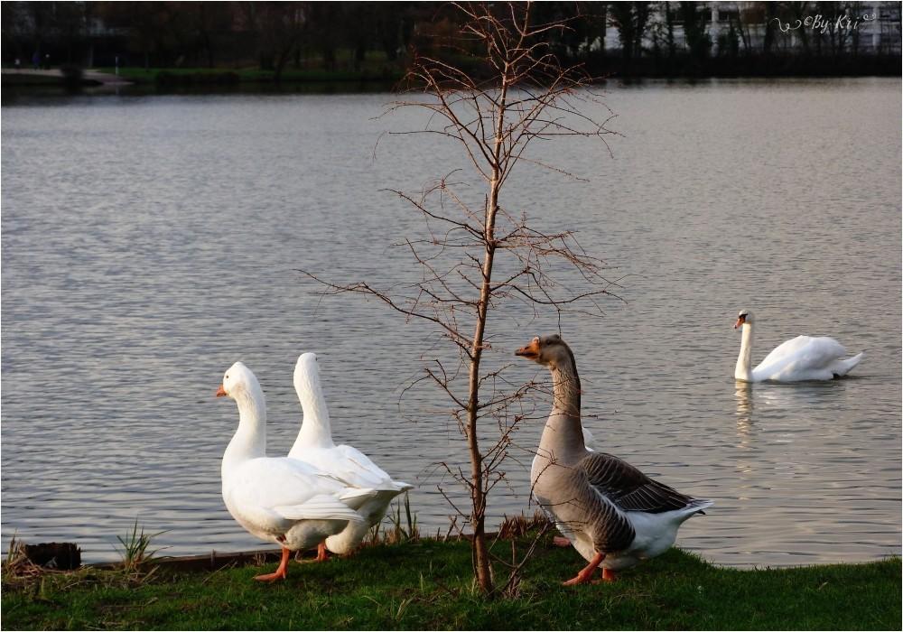 Metz (Fr-57) ~ Le Lac-Aux-Cygnes ...