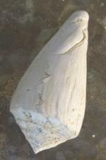 Fossiles conus-1358