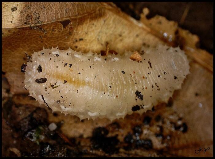 Larve Syrphidae.
