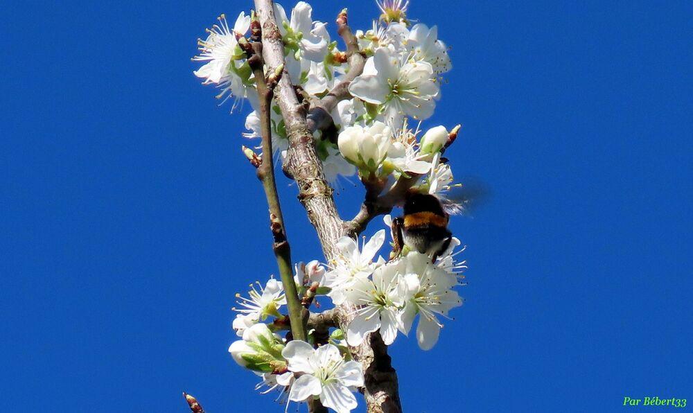 un bourdon et abeille ...