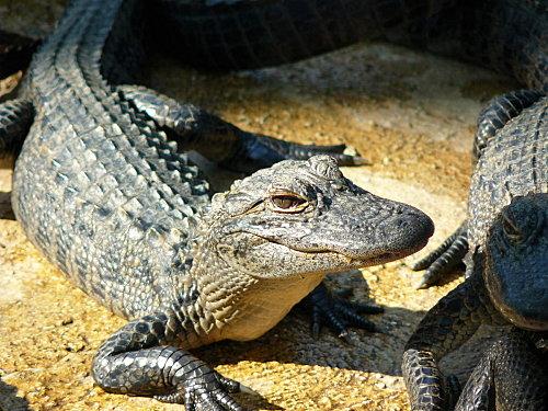 la ferme aux alligators