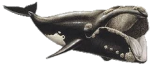 La Baleine boréale  ~ Moeurs ~
