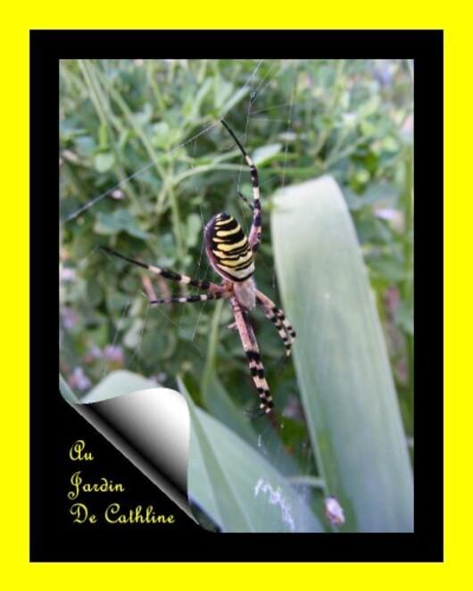 araignée à identifier 7 Août 2014 (46)