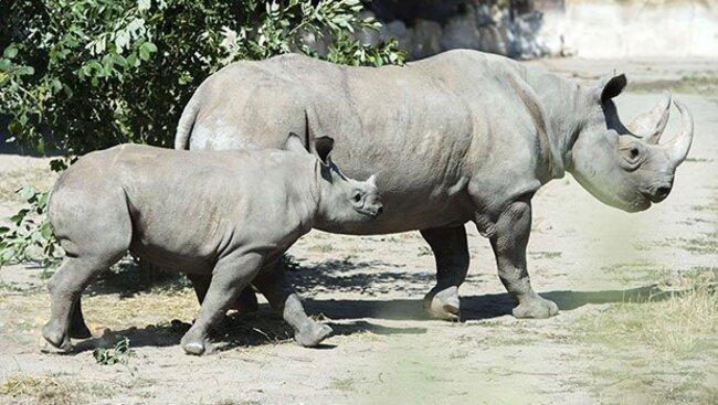 Malaisie : 50 de cornes de rhinocéros saisies, un record dans le pays