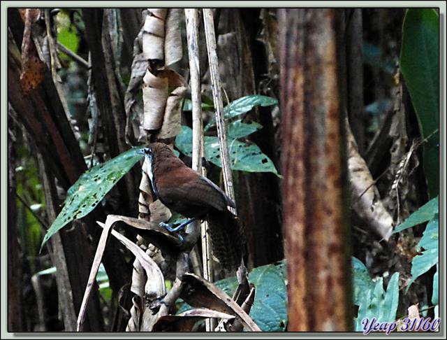 Blog de images-du-pays-des-ours : Images du Pays des Ours (et d'ailleurs ...), Troglodyte à ventre noir (Pheugopedius fasciatoventris) - La Palma - Puerto Jiménez - Costa Rica