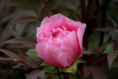 Roseraie - Avril (4/4)