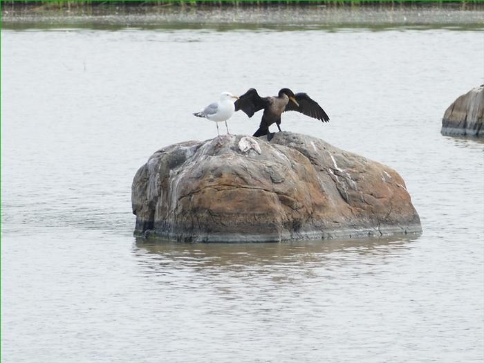 Le Cormoran à aigrettes (1)