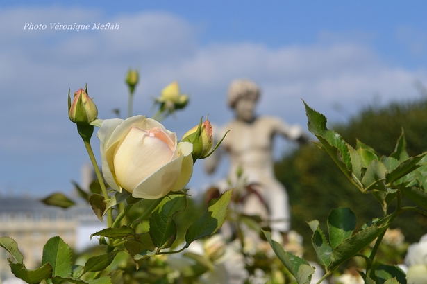 Les roses du Jardin du Palais-Royal