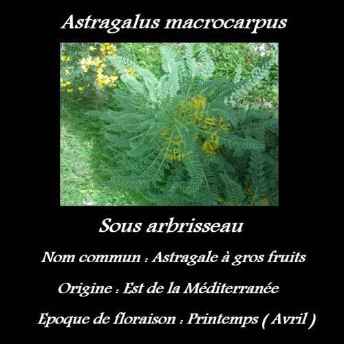Astragalus macrocarpus