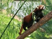 Panda roux : Pairi Daiza : 22 avril 2015