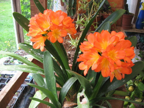 Mes-fleurs-et-le-potager-3394.JPG