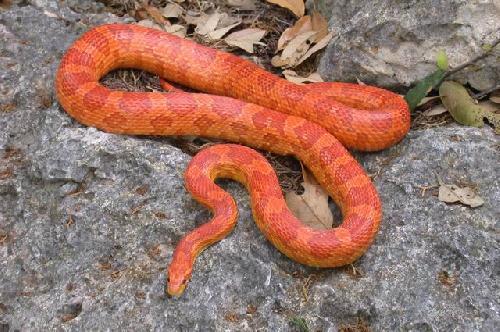 Phases Elaphes guttata - Blacksnake's serpent team