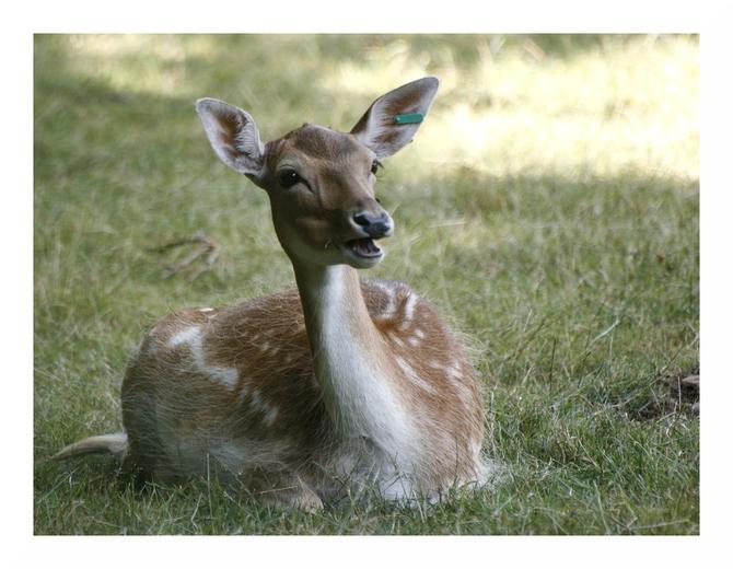 Les daims du Parc Animalier de Saint-Léonard des Bois