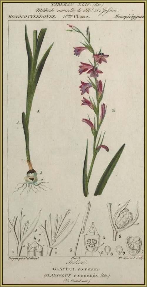Fleurs sauvages et cultivées : Glaïeul