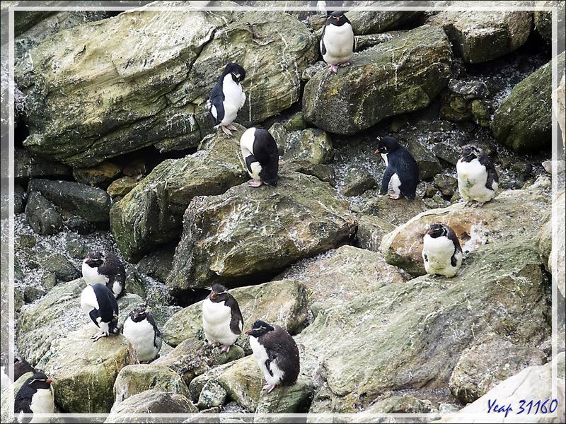 Les Gorfous sauteurs, Southern Rockhopper Penguin (Eudyptes chrysocome) ont leur territoire, mais empiètent aussi sur celui des Albatros - Coffin's Harbour - New Island - Falkland  - Grande-Bretagne