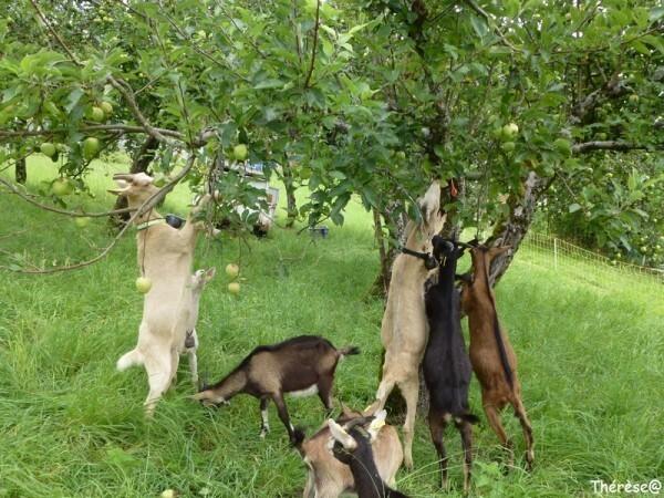 Les chèvres (10)