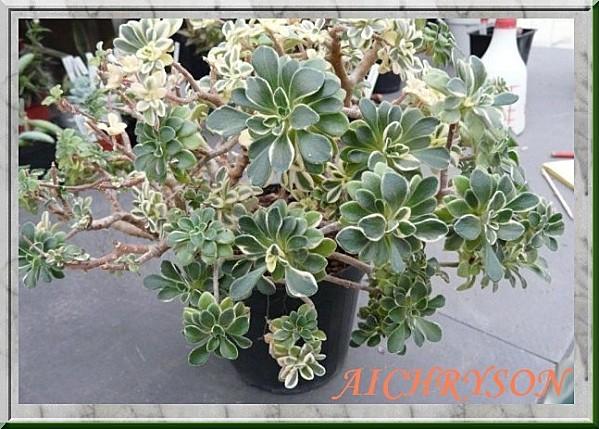 4 aichryson x aizoides variegatum 1