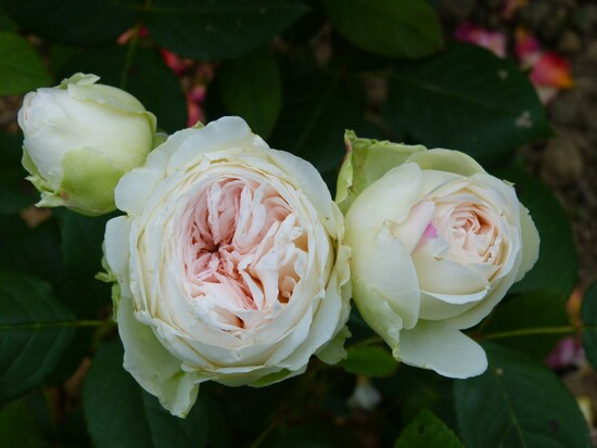 Mes plus belles roses 2015