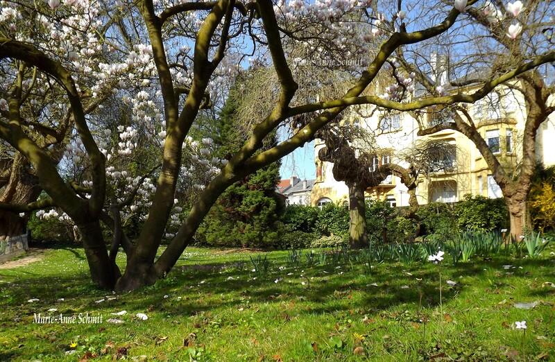 Magnolias à Metz