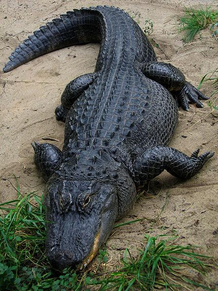 450px-American Alligator