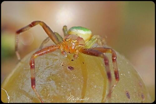 Ebretchella tricuspidata : le mâle
