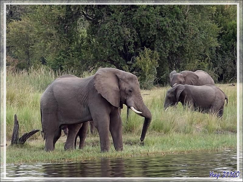 Nous nous sommes approchés des éléphants qui se sont, après des hésitations, mis à boire tranquillement - Fleuve Zambèze - Zimbabwe