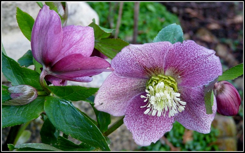 Quelques fleurs d'hiver....