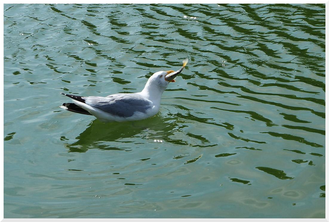 poisson bec de canard