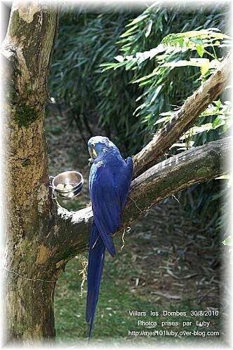 01 perroquet bleu 5