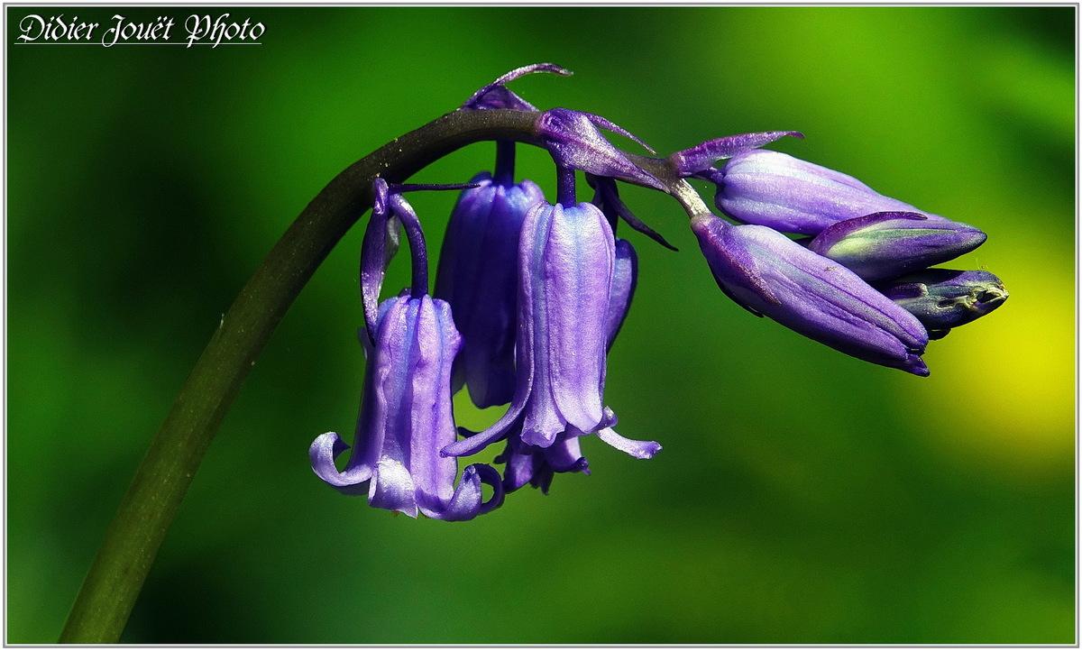 Jacinthe des Bois (3) - Hyacinthoides non-scripta