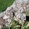 Saxigrage musquée (Saxifraga moschata)