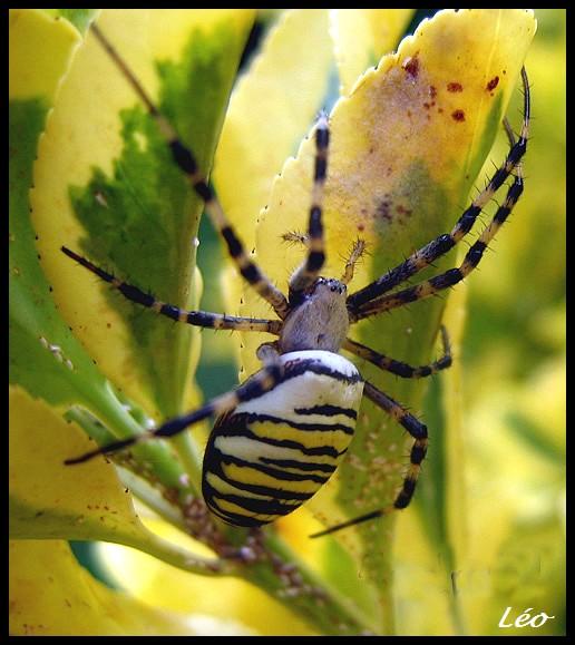 araignée : Argiope bruennichi