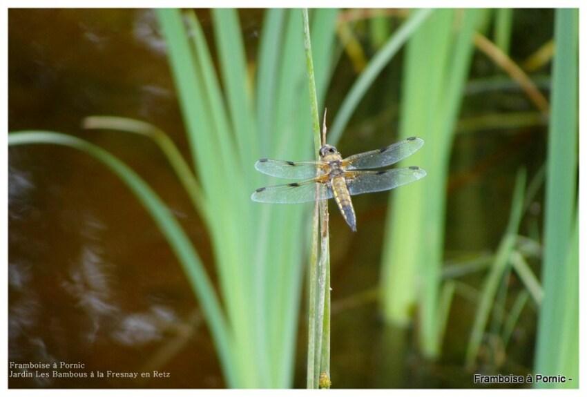 libellules à 4 taches