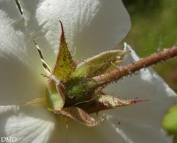 Rosa sempervirens  -  rosier toujours vert