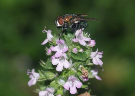 Abeillle butinant des fleurs de thym. © Eyeweed,CC by-nc2.0