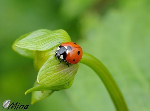 Coccinella septempunctata...