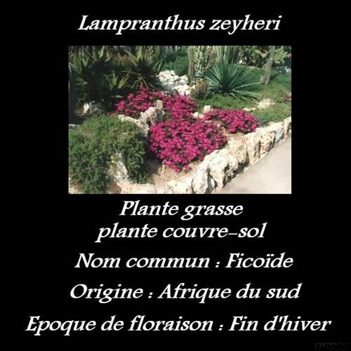 Lampranthus zeyheri