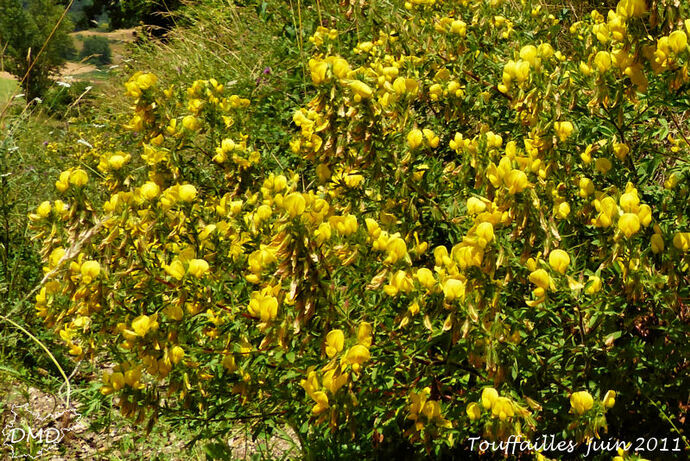 Ononis natrix - bugrane jaune -coqsigrue