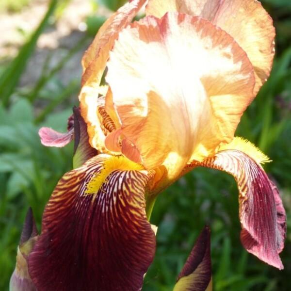 iris de jardin agrippa - juin 2013