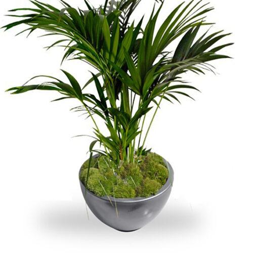 Fleurs cultivées : Kentia