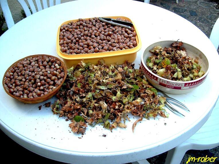 La récolte de noisettes dans mon jardin, le fruit aux multiples bienfaits........