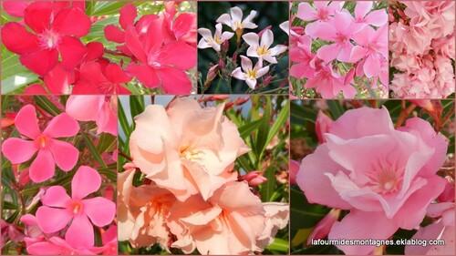 Fleurs corses