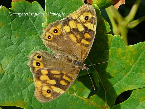 Dernier papillon - Last butterfly