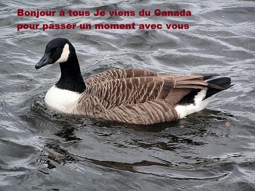 LA BERNACHE DU CANADA