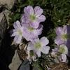 Géranium cendré (Geranium cinereum)