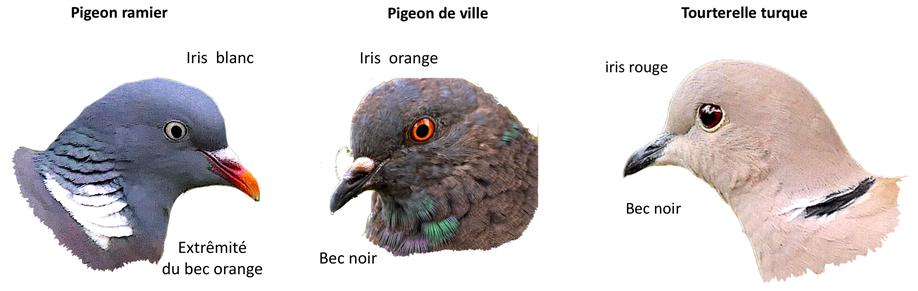 Portraits d'oiseaux (11)  La tourterelle turque