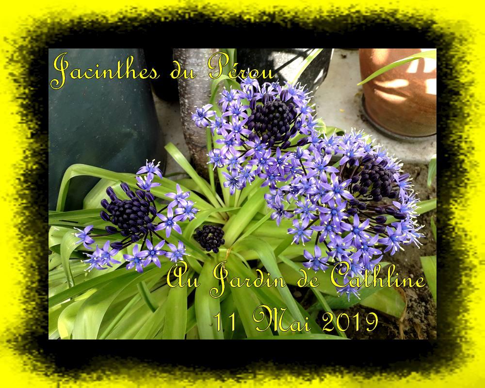 Jacintnes du Pérou