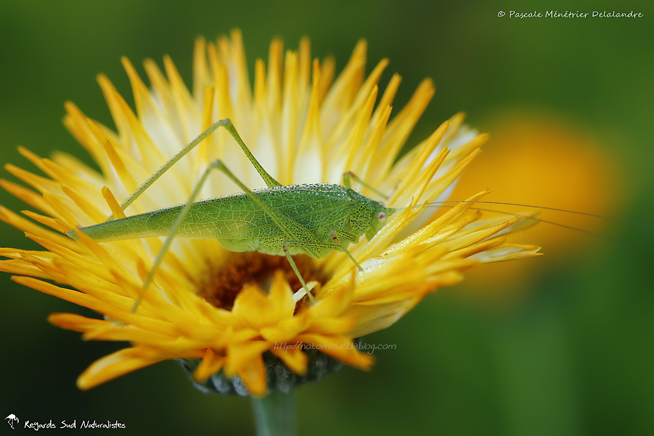 Sauterelle leptophye ♀